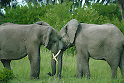 Elephant siblings greeting, part of a family group, Serengeti National Park, Tanzania. as of 2013 Tanzania is losing 70 elephants a day to poaching. Elephants greeting, showing affection, part of a family group,Masai Mara National Reserve, Kenya