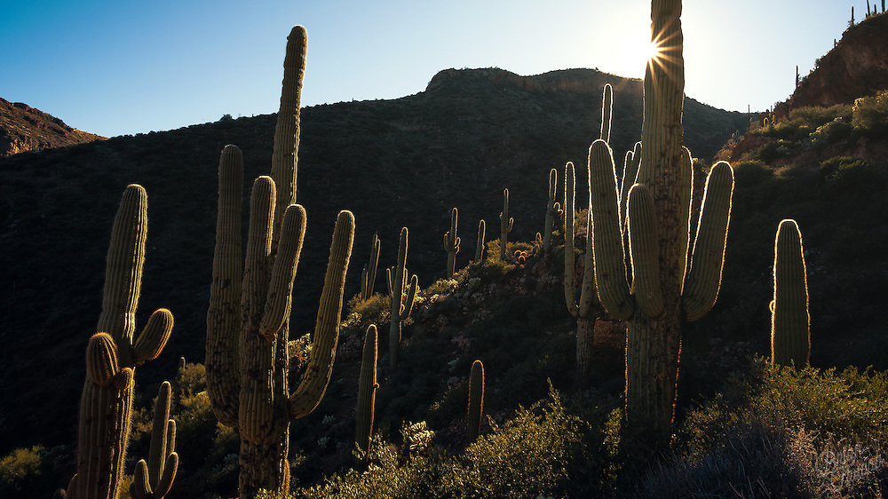 The semi-translucent prickly spines of the Saguaro cacti glow in the late afternoon sun. Many native birds such as woodpeckers, martins, finches, flickers, and elf owls make nests out of holes in the large cactus. It's not uncommon to have a variety of creatures living at different heights of the growth - almost like an apartment high-rise in the desert.