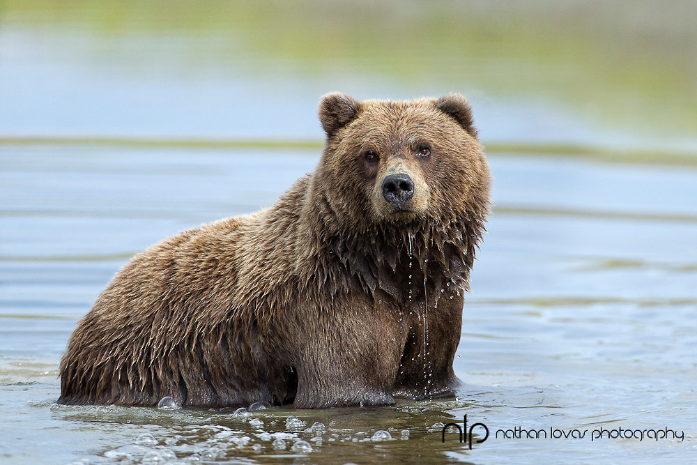 Brown Bear standing in river looking for salmon;  Katmai National Park, Alaska in wild.