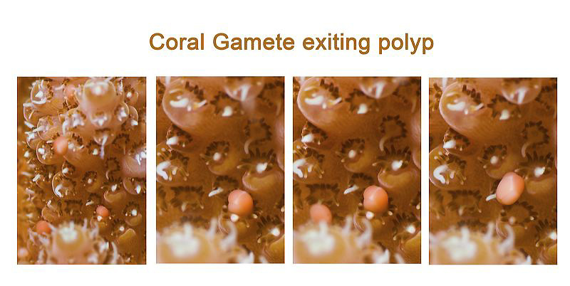 Acropora coral spawn, annual event, July 2013, Guam, Western Pacific, Micronesia, gamete, gametes, coral polyps, University of Guam Marine Lab, SECORE