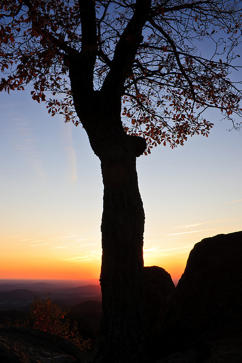 An autumn oak and rock formations are silhoutted against the morning sunrise, Hazel Mountain Overlook, Shenandoah National Park, Virginia.