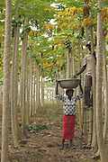 Papaya harvest at Dansak Farms, Nsawam, Ghana.