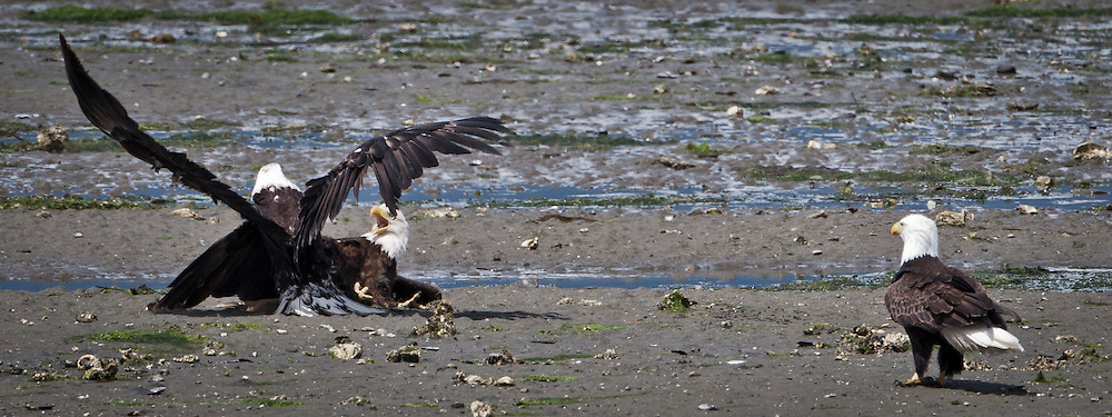 Bald Eagle (Haliaeetus leucocephalus) (Halietus leucocephalus) collision on the beach along the  Hood Canal in Puget Sound Washington, USA