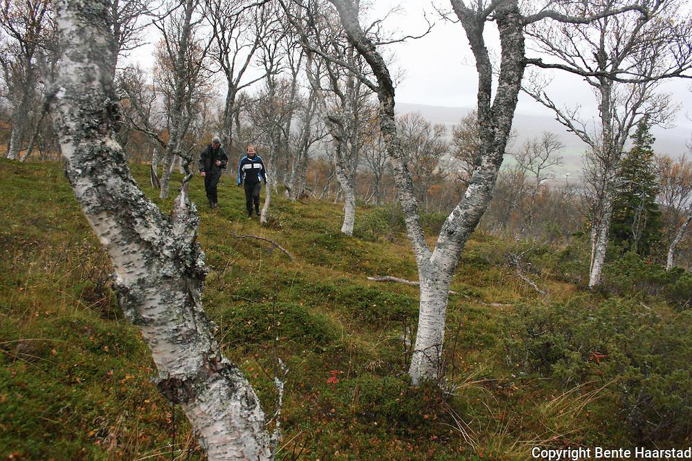 Fjellbjørkeskog