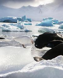 Snowy Sheathbill (Chionis albus) in Antarctica