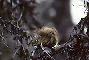 Red Squirrel, Squirrel, Ground Squirrel, Denali National Park, Alaska