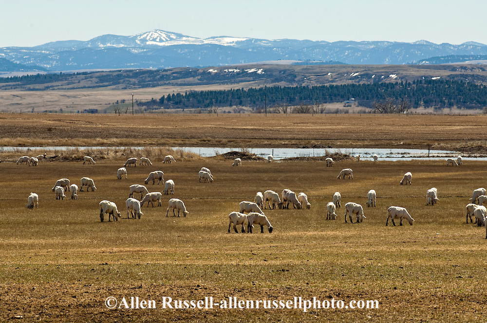 Sheep just after being sheared, Belle Fourche, South Dakota