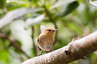 Immature Kauai elepaio (Chasiempis sandwichensis sclateri), or Hawaiian monarch flycatcher. Photographed in Kokee State Park on Kauai, Hawaii.