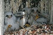 American Kestrel juveniles