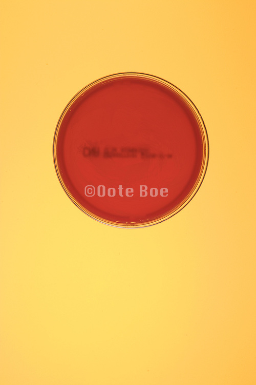 overhead view of petri dish with a red colored culture