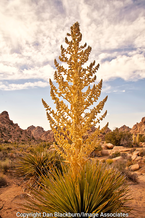 Blooming Yucca Tree in Joshua Tree National Park's Hidden Valley in California