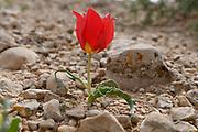 Blooming wild Desert Tulip (Tulipa systola) Photographed in Wadi Zin, Negev, Israel in March