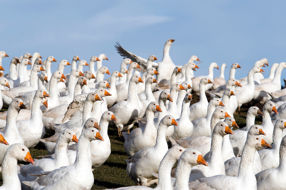 These are free range geese and turkeys at Goodman's geese in in Worchester (www.goodmansgeese.co.uk)