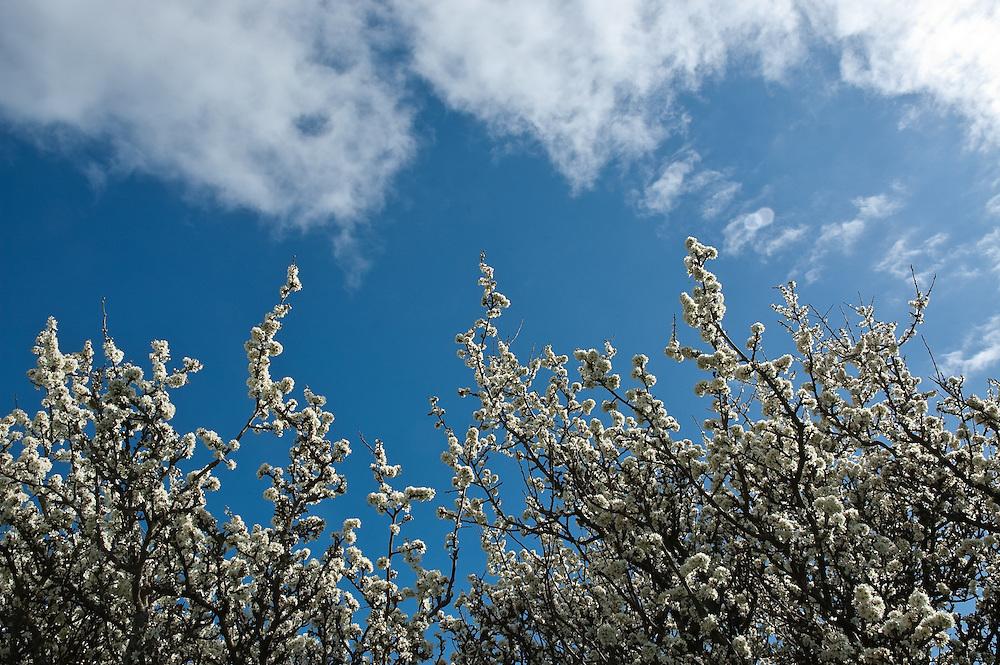 Hawthorne blossom against a blue sky, Cumbria, England, UK