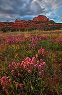 Owls Clover, Bear Mountian, Boynton Pass, Coconino National Forest, near Sedona, Arizona