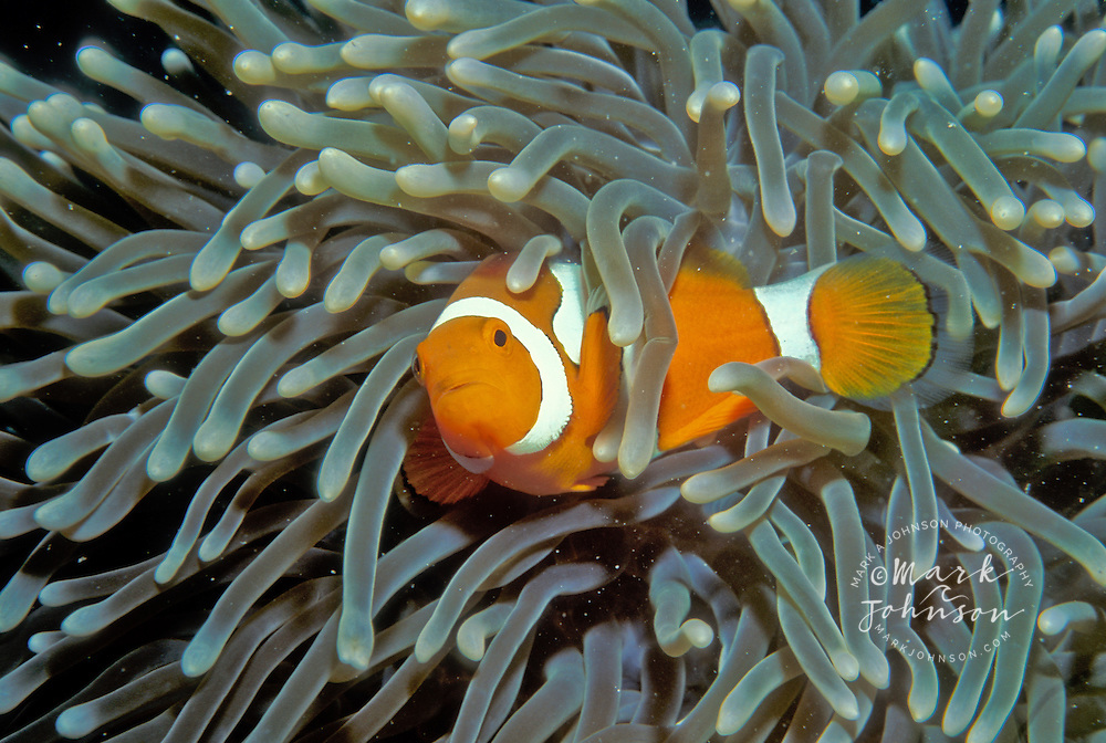 Clownfish in anemone, Great Barrier Reef, Queensland, Australia
