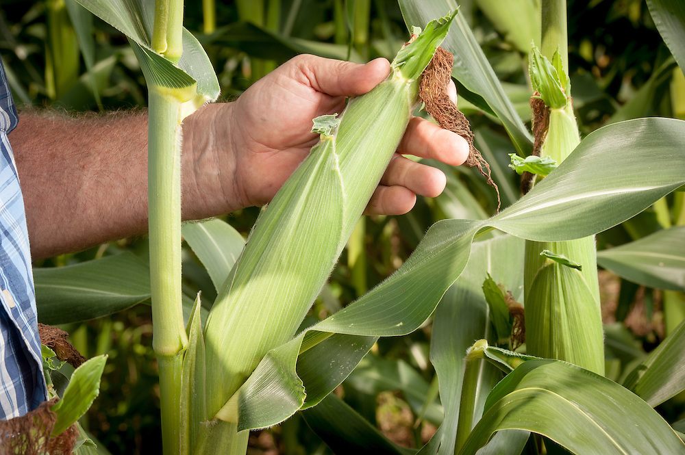 Close-up of farmer inspecting an ear of corn in Port Republic, Maryland, USA