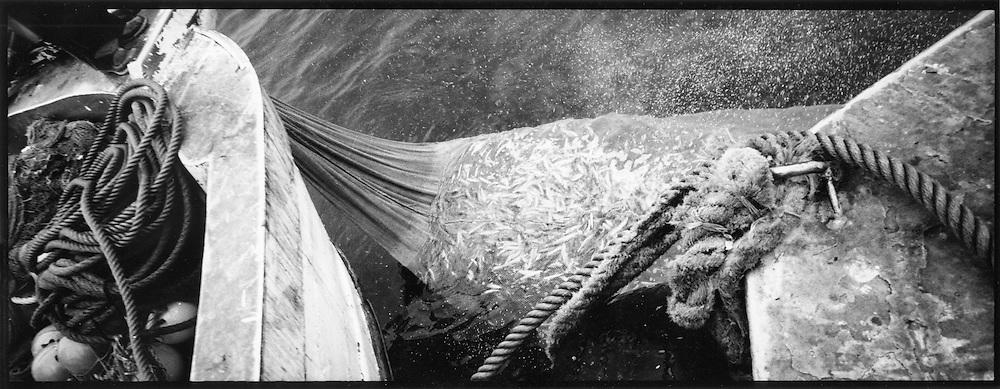 Una rete colma di acciughe.<br /> <br /> catching sardine fish