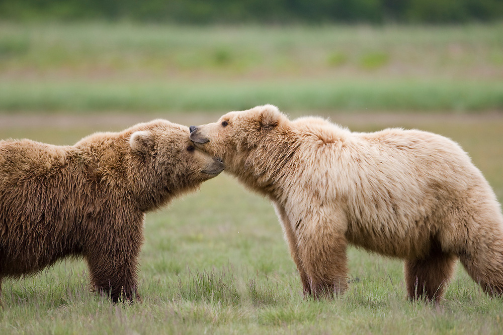 USA, Alaska, Katmai National Park, Brown Bear (Ursus arctos) greeting in meadow along Hallo Bay