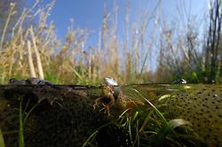 Moor Frog (Rana arvalis), mating   Moorfrosch (Rana arvalis) beim laichen