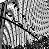 Pigeons on a street light above Eighth Avenue in midtown
