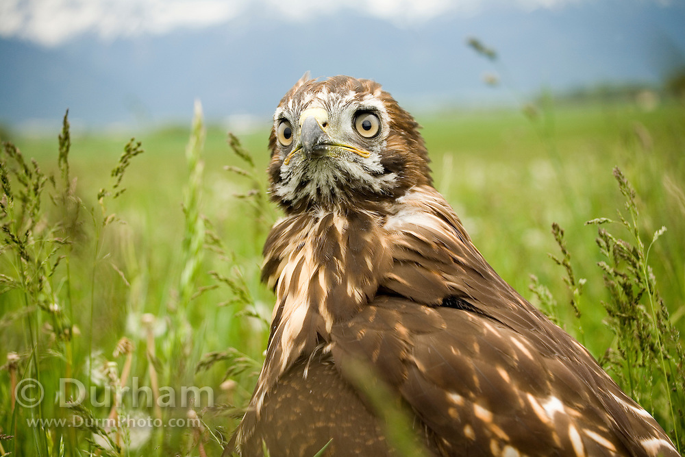 A juvenile red-tailed hawk (Buteo jamaicensis) in a pasture near Joseph, Oregon. The bird had been picked up by motorists just hours before, and delivered to the local Oregon Division Of Fish and Wildlife. The bird was not injured, but was simply struggling to fly with a full crop. Ideally, It should have been left alone.