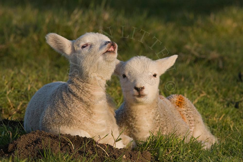 Domestic sheep (Ovis orientalis aries), two lambs, one curling upper lip in flehmen response, Norfolk, England