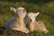 Domestic sheep (Ovis orientalis aries), two lambs, one curling upper lip in flehmen response, Norfolk, England