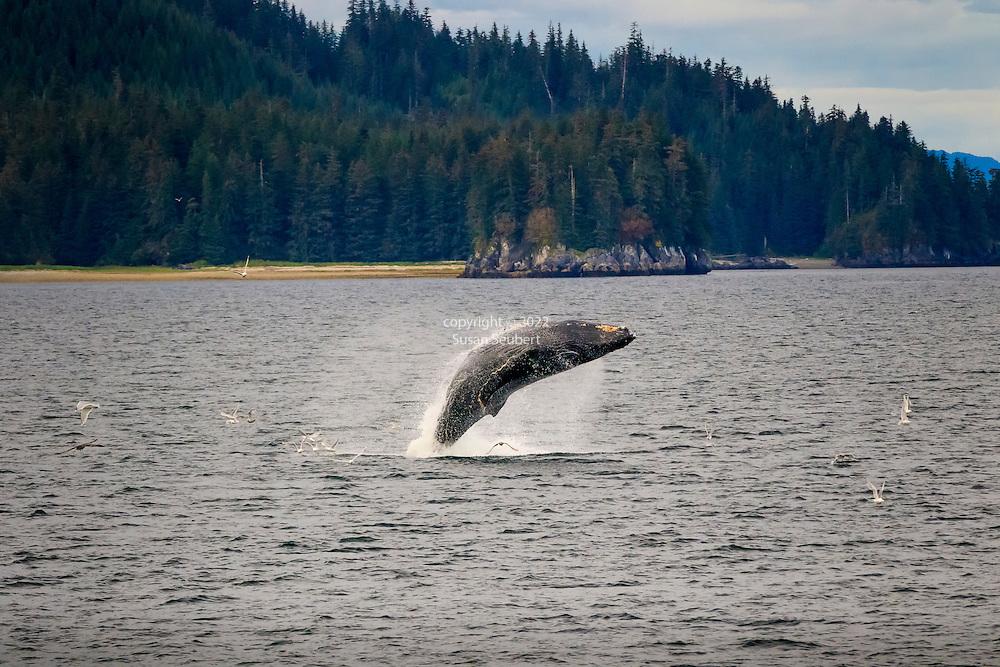 Humpback Whales bubble net feeding south of Morris Reef, Inside Passage, Alaska, USA