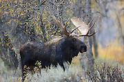 Shiras Moose in Habitat