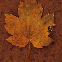 Autumn leaf on rust