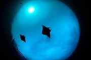 Giant manta rays (Manta birostris) feeding on plankton North Raja Ampat, West Papua, Indonesia, Pacific Ocean [size of single organism: 7 m] | Riesenmanta   (Manta birostris) Raja Ampat, West Papua, Indonesien, Pazifischer Ozean