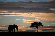 Elephant (Loxodonta africana) walking on the horizon during sunrise