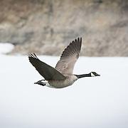 Misc Migratory / Waterfowl