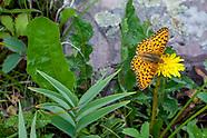 Speyeria mormonia eurynome - Mormon Fritillary