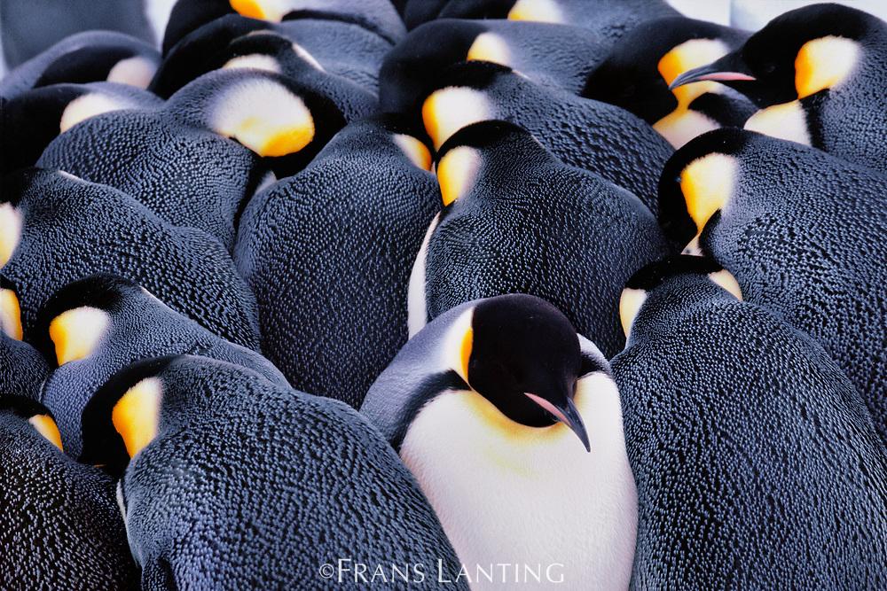 Emperor penguins huddling,  Antarctica