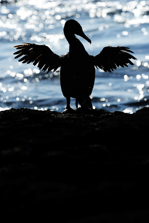 Flightless Cormorant (Phalacrocorax harrisi), also known as the Galapagos Cormorant, Fernandina island, Punta espinosa, Galapagos, Ecuador.