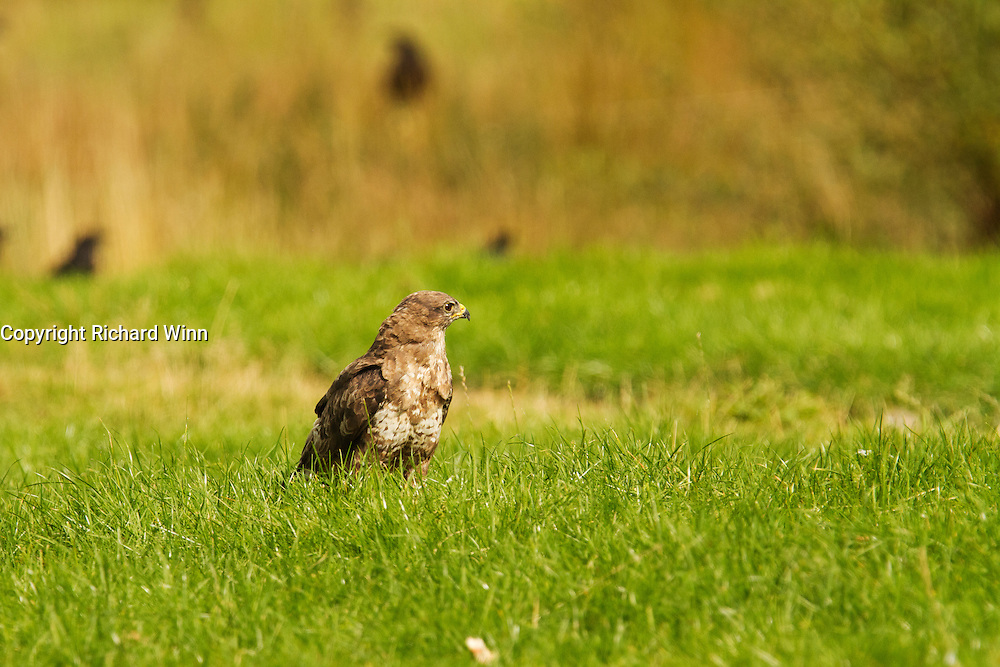 Common buzzard (Buteo buteo) in a field at the Gigrin Farm feeding station, in between feeding.