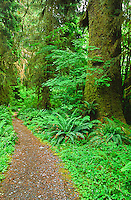 The Hoh River Trail leads visitors through the Hoh Rain Forest.  Olympic National Park, Washington.