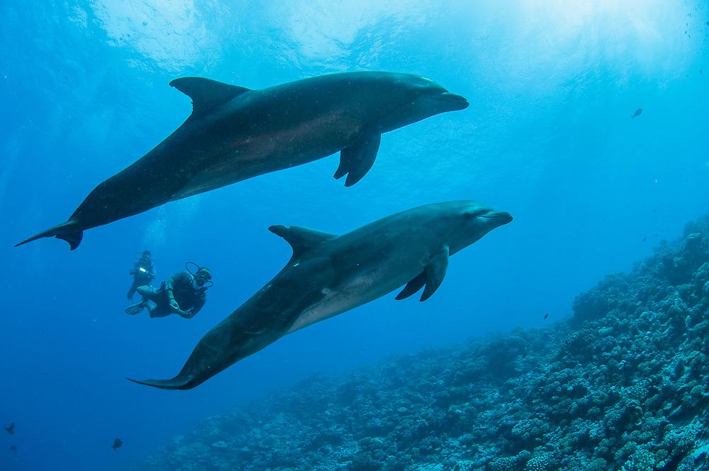 Bottlenose Dolphins, Tursiops truncatus, are a common site in Tiputa Pass, Rangiroa, French Polynesia