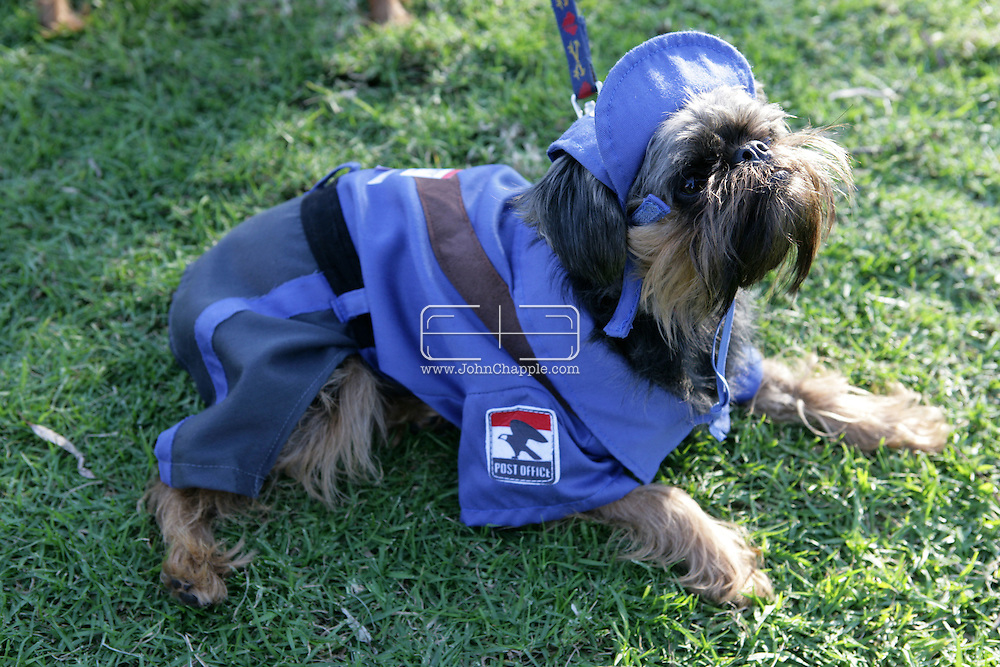 31st October 2009. Long Beach, California. The Haute Dog Howl'oween Parade in Long Beach. Pictured is Early the Brussels Griffon dressed as a postman. PHOTO © JOHN CHAPPLE / www.chapple.biz.john@chapple.biz  (001) 310 570 9100.