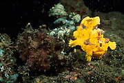 Pair Warty frogfishes (Antennarius maculatus) | Paar Warzen-Anglerfische (Antennarius maculatus) |