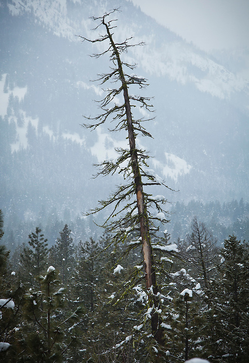 A big snag towering above the other trees in the Methow Valley near Mazama, Washington, USA.