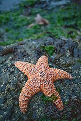 Orange Starfish Clinging on Rock
