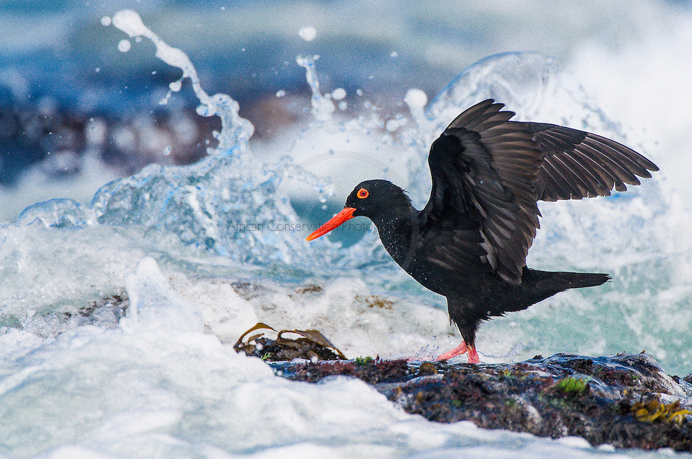 African Black Oystercatcher on rocky platform, De Hoop Natue Reserve, Western Cape, SOuth Africa