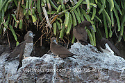 Brown boobies roost on the side of a cliff on Bona Island in the Panama Bay.