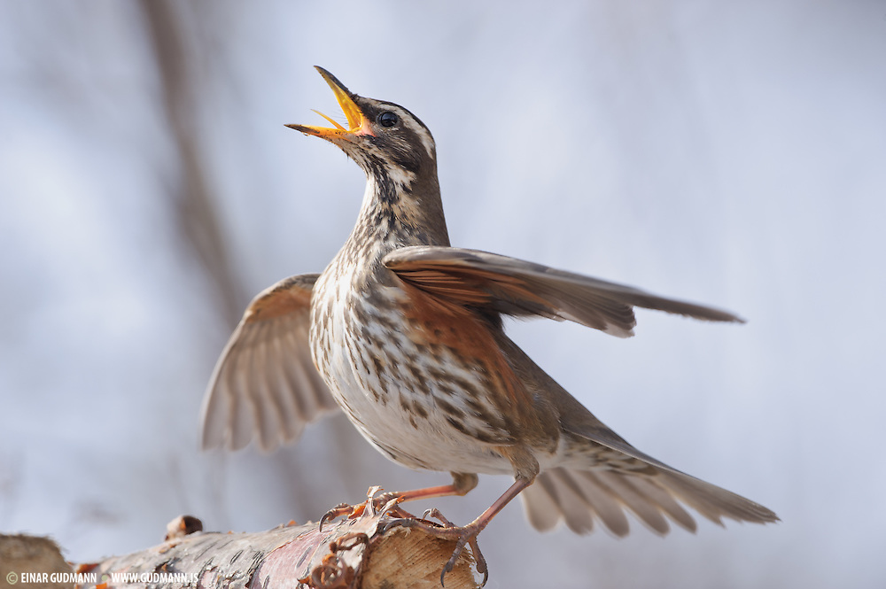 """The English name derives from the bird's red underwing. It is not closely related to the Red-winged Blackbird, a North American species sometimes nicknamed  """"redwing""""."""