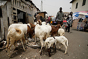Sheep for sale on the street in Accra, Ghana.