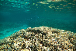 Tiny blue Damselfish swim above a lump of bleached Staghorn coral in Clerke Lagoon.