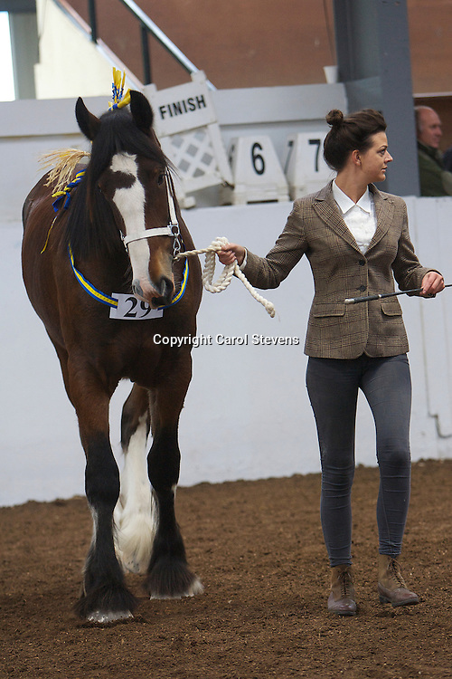 North West and Wales Shire Foal Society <br /> Show 2012<br /> Curbishley Farms Ltd's Ballafayle Cameo   <br /> f 2011<br /> Sire   Bewholme Conqueror<br /> Dam   Ballafayle Polyana<br /> 4th Yearling, Colt, Gelding or Filly Class